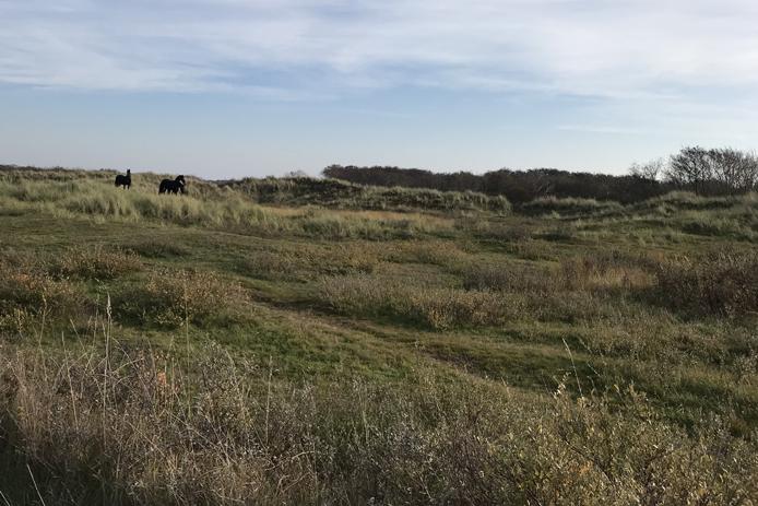 Paarden in de duinen