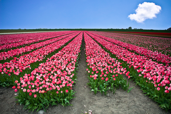 Tulip field in April